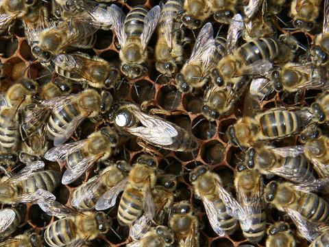 Bienenkoenigin4